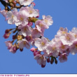 カワヅザクラ 〈河津桜〉