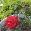 素敵な色のバラです。 (2017年9月26日撮影)