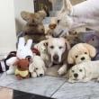 超絶可愛い ぬいぐるみに埋もれたラブ犬。 見つけるのはだ~れ?
