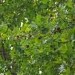 スズカケノキ「鈴懸の木」