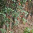 アオツヅラフジ、スイカズラ(忍冬、金銀花)、サルトリイバラなど