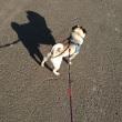 愛犬 マサル散歩