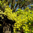 イチョウ 鮮やかな黄葉