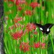 彼岸花とモンキアゲハ