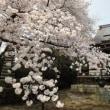 お寺さんの桜