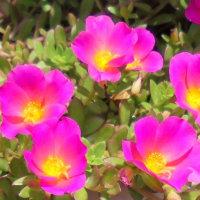 母の庭の花々~ポーチュラカ