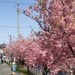 春爛漫!満開の菜の花・河津桜