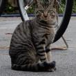 近所の飼い猫1107