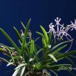 フウラン」「山採り赤花」(高知産)の花
