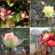 No.2432☆ゆきたん☆ホリホリの後ピョンピョン&蝋梅(ろーばい)の花