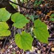 樹木ウォッチング冬から夏へ348ウリノキ1