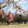 日吉町の公園でも南町公園でも河津桜が咲き始めて、お店探しのついでにうな丼食べました