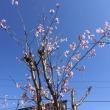 青空に  桜の小枝  背伸びして