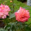 旧古河庭園のバラ・・5