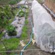 実エンドウ用の畝に支柱を立てました。