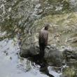 神田川の鳥