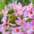 【ダイモンジソウ (大文字草)】Saxifraga fortunei var.incisolobata 花色は赤ピンク色々ありますね☆
