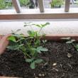 三度豆の収穫