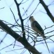 11/14探鳥記録写真:リュウキュウサンショウクイ(づくし)