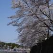 桜満開のこのごろ