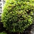 松野自然塾:ギンゴケの横にあったコケ