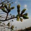 膨らみはち切れそうヨシノ桜。    19・3.23