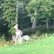 グッドモーニング羅臼の鹿。