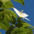 庭のバイカウツギ(梅花空木)一つだけ開花(狂い咲き?)