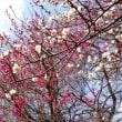 東京都小平市近郊2018年の春・・紅白梅
