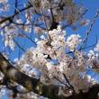 境川の桜 一部開花