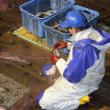 道南太平洋スケソウ刺し網(12月20日) 11月中旬以降、水温下がり水揚げ回復に向かう