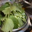 今日の収穫 オクラ ナス カボチャ 青シソ うまい菜