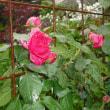 こちらも開花 ツルバラのルージュピェールロンサール