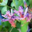 【タイワンホトトギス(台湾杜鵑草)】Tricyrtis formosana