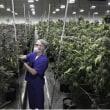 合法化が進むアメリカの大麻(マリファナ)事情