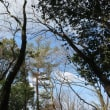 マンサクの大木