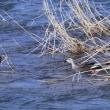 ●1月 雪の犀川 コガモ カルガモ マガモ アオサギ
