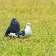 25/Apr  ハルジオンと赤花夕化粧とカワセミと土鳩