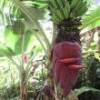 小さなバナナの巨大な花