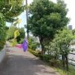 舗道に琉球朝顔