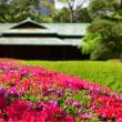 皇居東御苑諏訪の茶屋と躑躅