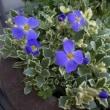 ♪~青紫色のお花~♪