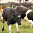 喜び 飛び跳ねる 嬉しさを全身で表現する牛の姿を見て 世界中の人が笑いと涙