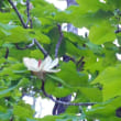 クルミとホウの花