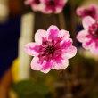 雪割草展示会 高嶺の花たち 2