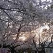 背割堤 桜の開花状況 その2