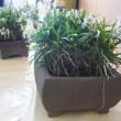 風蘭の鉢植え