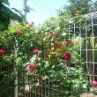 週末の薔薇たち
