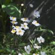 百花園のシュウメイギク
