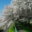 彩の国 花影橋辺りの桜並木が綺麗だった3月下旬
